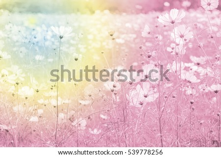 Fantastic dream moment of cosmos flowers garden,Blurry to soft focus and retro film look new color intrend tone. #539778256