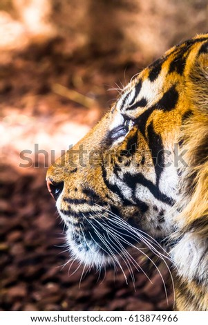 Fantastic specimen  of Bengal tiger posing placidly #613874966