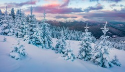 Fantastic sunrise in the mountains. Fresh snow covered slopes and fir trees in Carpathian mountains, Ukraine, Europe. Ski tour on untouched snowy hills. Beauty of nature concept background.