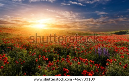 fantastic sunset at the poppies meadow. majestic rural landscape. colorful sky with overcast clouds. picturesque scene. amazing view #466933109