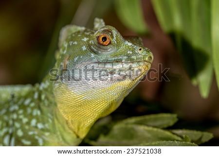 fantastic tropical macro green iguana eye. Selective focus on eye