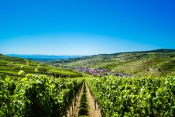 Fantastic view from a vineyard to the village Oberbergen surrounded by vineyard terraces at the Kaiserstuhl, Germany under a clear blue sky. The french Vosges mountains are in the background.