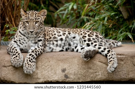 Far Eastern leopard lying on a stone #1231445560
