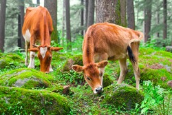 Farm animal. Cow and little calf  at grassy meadow in forest. India