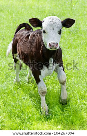 Farm animal. Little calf playing on meadow