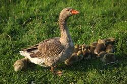 Farm animals,daddy goose walking little goslings,Cute fluffy goslings on green grass outdoors, Group of young goslings on grass. adorable group of little yellow goslings.Cute little fluffy duckling
