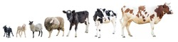 Farm animals on a white background, farm animals, farm, cows, sheep