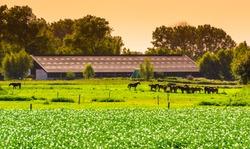 farm building with horses in the pasture during sunset, Waterlandkerkje, Zeeland, The Netherlands