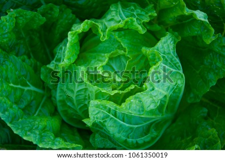Farm Chinese cabbage, Farm Chinese cabbage from Thailand coutry
