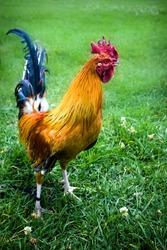 Farm Cock