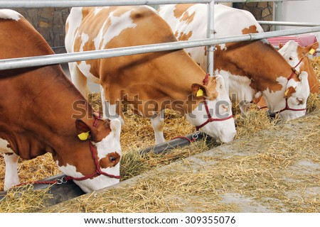 Farm cowshed with cows eating hay