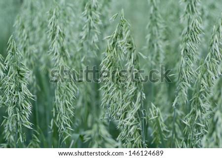 stock-photo-farm-crop-field-with-green-young-oat-ears-146124689.jpg