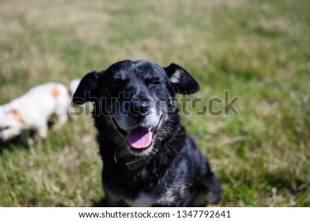 Farm dog in Australia