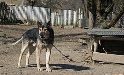 Farm dog. The dog barks and is chained.