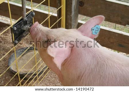 FARM FAIR PIG DRINKING