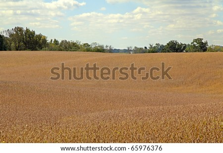 Farm field of soybeans ready to be harvested