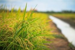 farm field thai jasmine rice