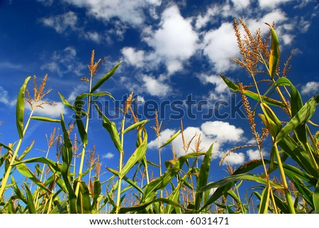 Farm field with growing corn under blue sky