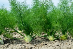 Farm field with growing green annual Florence fennel bulbing plants, foeniculum vulgare azoricum.