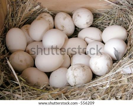 Farm fresh eggs, still in a the hen house