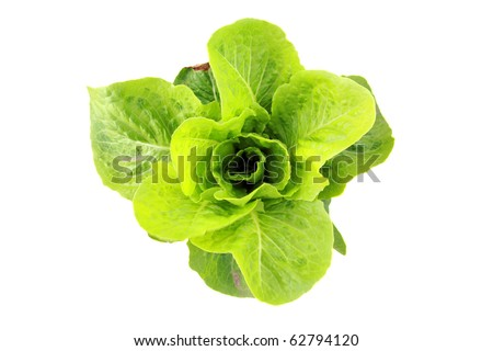 farm fresh green butter lettuce isolated on white