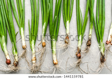 Farm fresh vegetables. Organic, freshly harvested green onion. Spring chive with dirty root.