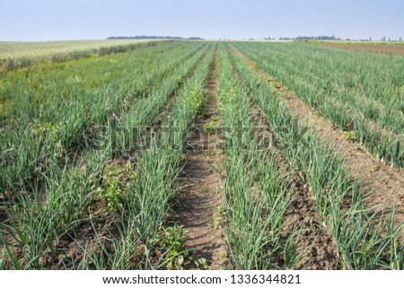 Farm garden with green onions during ripening. farm field with a big harvest. Summer business. Stock background, photo