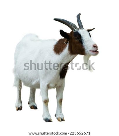 Farm goat. Isolated on white background