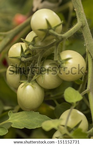 Farm of tasty green tomatoes on the bushes