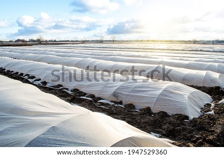 Farm potato plantation field is covered with spunbond spunlaid nonwoven agricultural fabric. Create a greenhouse effect. Earlier potatoes, care and protection of young plants from night frost Foto stock ©