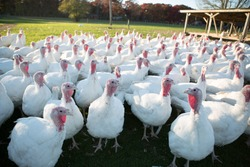 farm turkeys