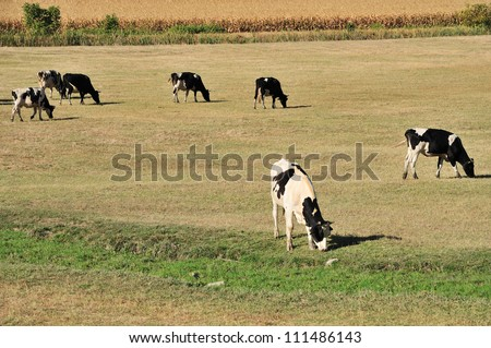 Farm with Holstein cow grazing dry grass on field - stock photo