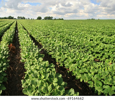 farm with soybean field with rows of soya bean plants