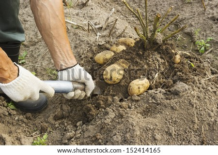 Farm worker harvesting potato in the vegetable garden