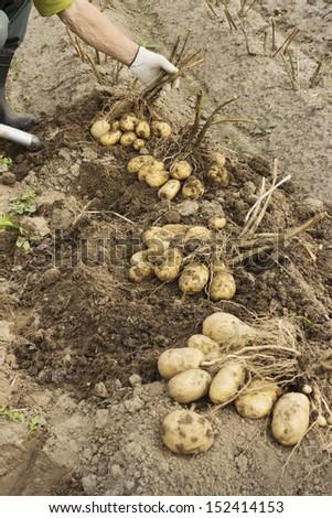 Farm worker makes harvesting potato  in a field