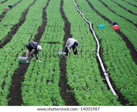 Farm Workers In Green Field
