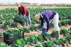 Farm workers men and woman during harvesting of green cabbage in the field on plantation