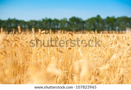 farm yellow field of ripe wheat