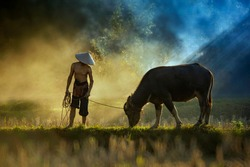 farmer and buffalo are walking on rice field ,rice field sunset time,The Farmer planting on the organic paddy rice farmland,Thailand