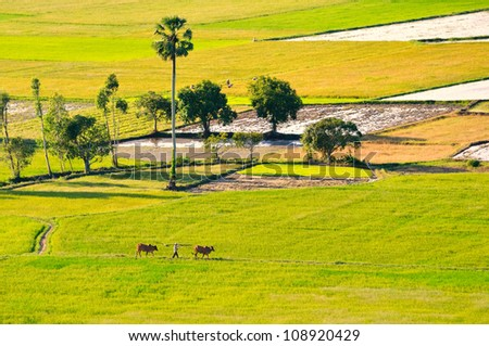 Farmer and cows walking on paddy field. Mekong Delta, An Giang, Vietnam