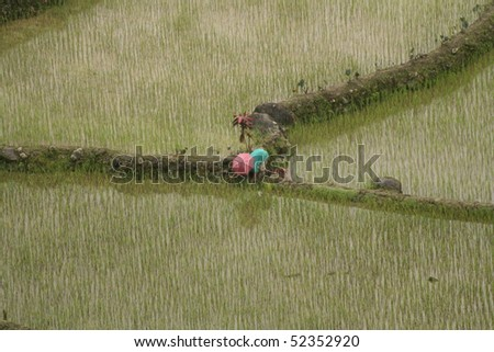 farmer at work in a terraced  rice field, Philippines