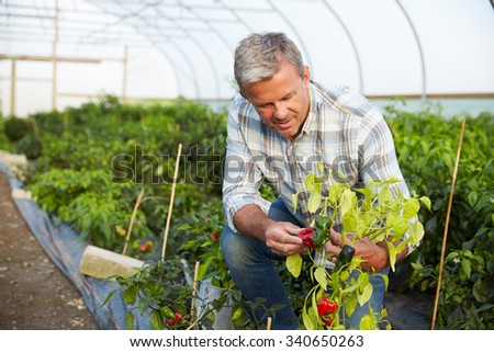 Farmer Checking Organic Chilli Plants In Greenhouse
