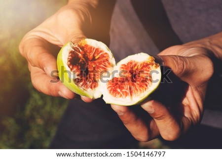 Farmer checking the quality of ripe fruit, its color and quality. Second fruit of the fig tree per year, edible with green skin and soft, sweet flesh with many seeds. Horticultural Spanish. Figs. #1504146797