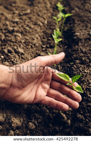 Farmer controlling growth of pepper plants in vegetable garden, homegrown organic food production, selective focus - Shutterstock ID 425492278