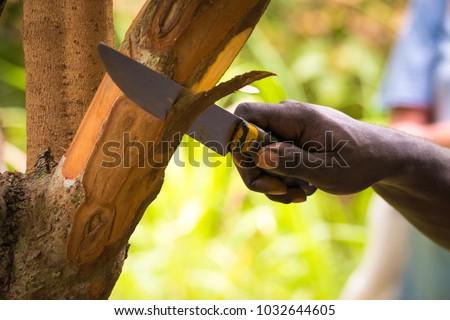 Farmer cutting pieces of a cinnamon tree for tasting purpose during a Spice Tour on Zanzibar, Tanzania.  #1032644605