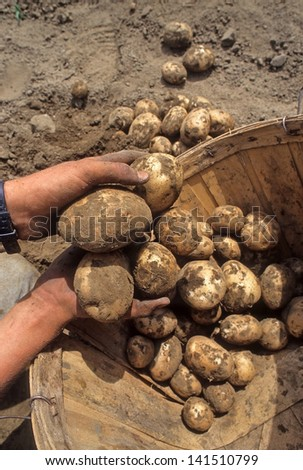 Farmer digging fresh white potatoes and collecting them in a basket.