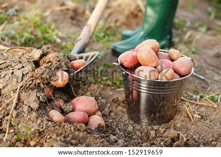 Farmer digging up the potatoes crop - stock photo