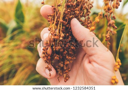 Farmer examining ripe proso millet (Panicum miliaceum), close up of hand #1232584351