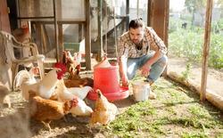 Farmer feeding chikens in a hen house