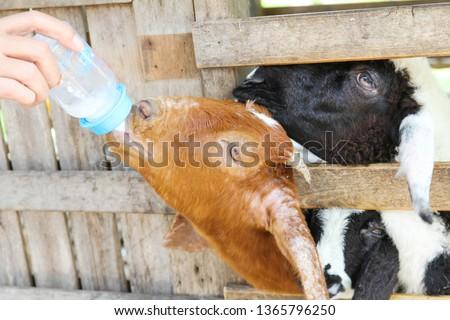 Farmer feeding milk to farm goat.